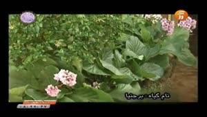 گل برجنیا