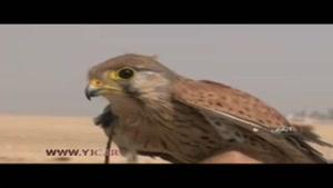 کشف پرندگان قيمتی از قاچاقچيان/ تاراج حیات وحش در تالاب