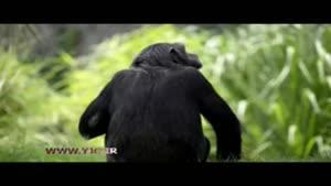 شامپانزه هایی که صاحب خانه شدند