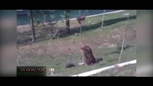 کمک خرس مادر به بچه بازیگوش خود