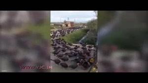 رژه جالب ارتش بوقلمونها
