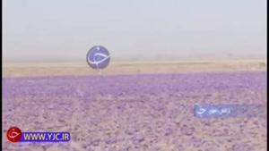 متاعی ارزشمند که زحمتش با کشاورز ایرانی و نفعش با بازرگان خارجی است