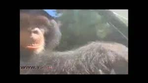 شوفری جالب یک شامپانزه