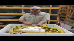 جابجایی ترسناک تخمهای مار عظیمالجثه
