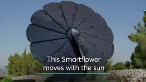گل خورشیدی که شبها بسته و روزها باز می شود