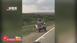 حمل گاو با موتورسیکلت!