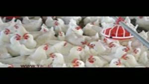 وقتی قیمت مرغ با آنفولانزا بال در میآورد