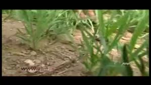 هجوم ناگهانی ملخ ها به مزارع