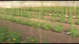 خانه سبز و کشت گل خانهای در استان قزوین
