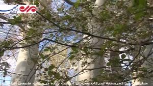 چنارهای پیر کمربسته سرکان پنجمین اثر ثبت شده در میراث طبیعی ایران