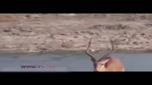 فرار از دست تمساح وگیر افتادن به چنگ سگ های وحشی