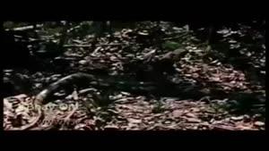 نبرد جانانه شیر نر با مار غول پیکر