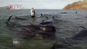تلاش برای نجات نهنگهای گیر افتاده در ساحل