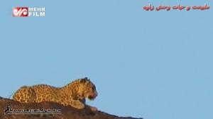 مشاهده پلنگ ایرانی در خراسان رضوی