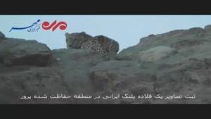 یک قلاده پلنگ ایرانی در منطقه حفاظتشده پرور مشاهده شد