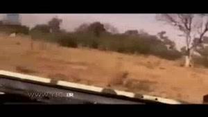 نجات آهو از چنگال پلنگ توسط بابون!