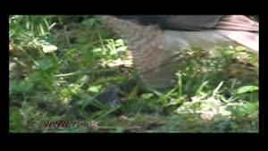 پرندهی شکاری در چنگال شکارچی ماهر