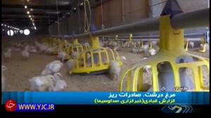 وقتی چاقی مرغهای ایرانی، خواستگارهای فرنگی را می پراند