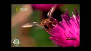 مستندی در مورد حشرات پرنده کرم مگس زنبوری