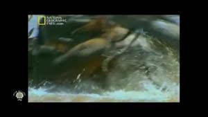 مستند حیوانات شکاری کروکدیل قسمت ۴