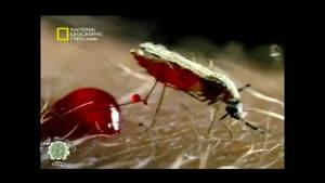 مستندی زیبا از پشه آنوفل