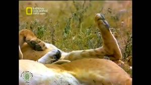 مستند زیبا از گربه سانان (شیرها) قسمت ۱