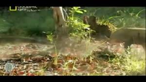 مستند اژدها های مرگبار کومودو قسمت دوم