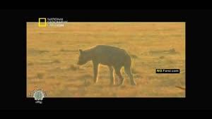 مستند حیوانات شکاری کفتارها قسمت۲