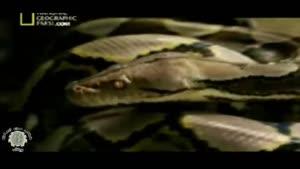 مستند مار های غول پیکر آدم خوار قسمت اول