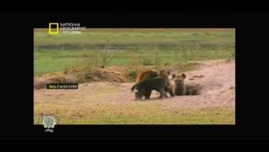 مستند حیوانات شکاری کفتارها قسمت ۴