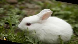 ترانه ی کودکانه ی خرگوش