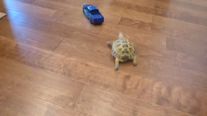 لاکپشت با پتشکار
