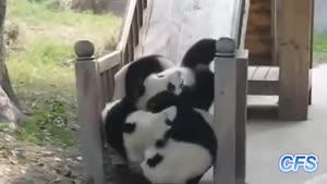 ویدیو خنده دار از پاندا / رسانه تصویری وی گذر