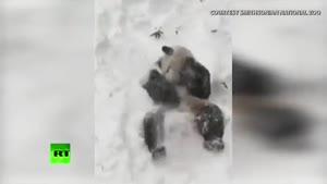 شادی پاندا به خاطر بارش برف / رسانه تصویری وی گذر