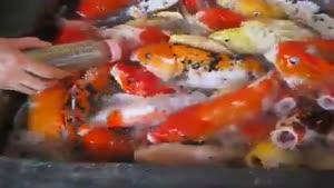 غذا خوردن ماهی