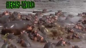 شکار تمساح توسط اسب آبی