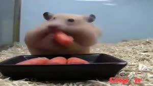 هویج خوردن با مزه همستر