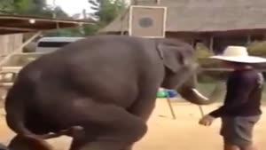 فیل رقاص