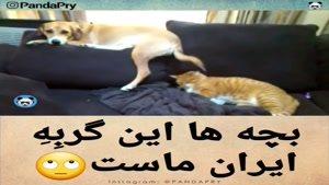گربه ملی ایران در خارج کشور