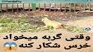 وقتی گربه میخواد یه خرس شکار کنه