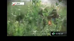 گزارش جالب از برداشت حنا در کرمان