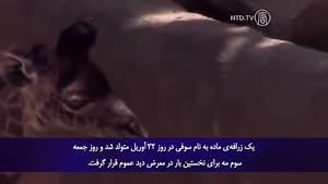 تولد بچه زرافه در باغ وحش لُس آنجلس.