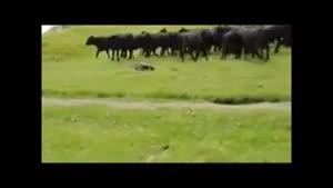 گاوها و ماشین کنترلی.