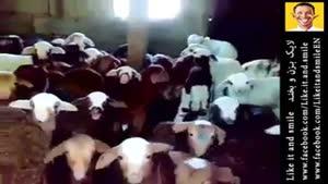 گوسفندهای ناقلا