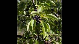 نهال فلفل سیاه 09121270623 - خرید نهال فلفل سیاه - فروش نهال فلفل سیاه - قیمت نهال فلفل سیاه