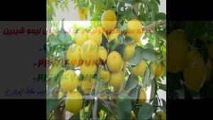 بزرگترین مرکز فروش نهال لیمو شیرین در کشور 09121270623