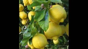 بزرگترین مرکز فروش نهال لیمو ترش در کشور 09121270623