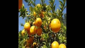 بزرگترین مرکز فروش نهال نارنج در کشور 09121270623