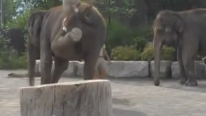 تلاش برای سوار شدن بر روی فیل