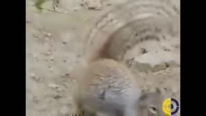 یه سنجاب اینجوری مار کبرا رو ناکار کنه؟